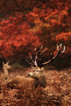 "earth-song:  ""soggy stag"" by Lee Crawley I took this photo the Autumn before last, I've been to Richmond Park too many times to remember and I was keen to get some better shots of the Deer with an Autumn backdrop - the rain added a nice dimension, proving nicely that rain doesn't always stop play :¬ )"