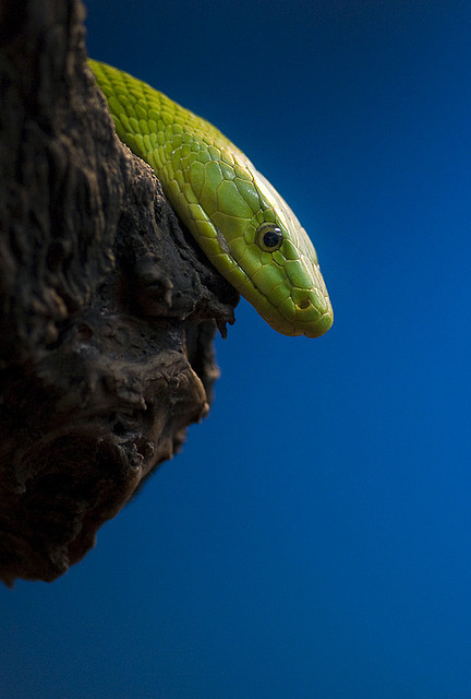 animalgazing:  mamba by csabatokolyi on Flickr. Eastern green mamba
