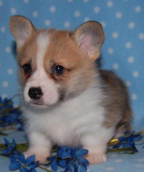 corgiaddict:  Here's the latest picture of Jackson. He's finally starting to look like a Corgi! With his little ears popped up and everything! :) submitted by Jackson Gatsby Stubbington! You can follow his blog here.