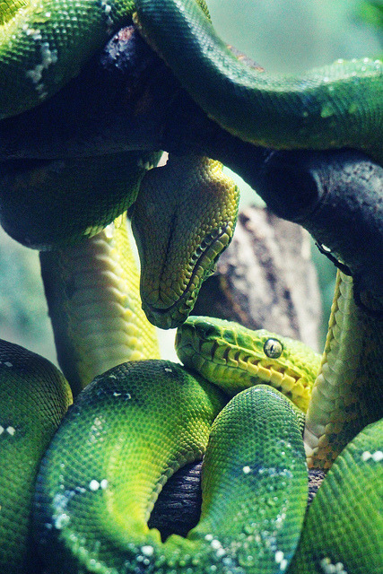theanimaleffect:  Snakes by Chloetry Photography on Flickr.