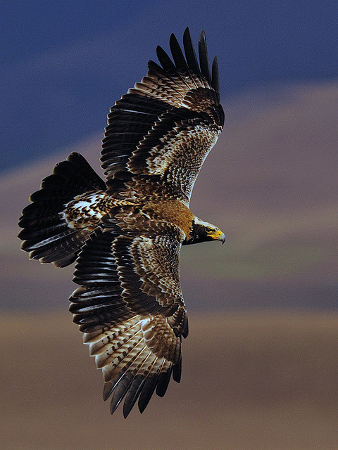 howtoskinatiger:  Verreau'x Eagle soaring by jawini on Flickr.