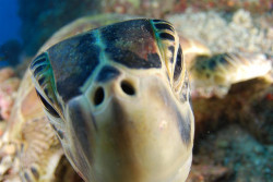 Green turtle closeup by AussieByron on Flickr.