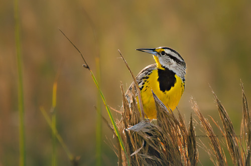 dendroica:  Eastern Meadowlark (by Wildlifeshoots)