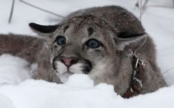Baby puma plays in the snow at a zoo in Krasnoyarsk. Photo by Ilya Naymushin.