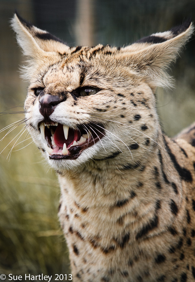 "loveforearth:  ""Serval"" by Sue Hartley"