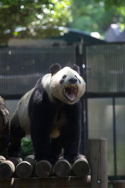 giantpandaphotos:  Ri Ri at the Ueno Zoo in Tokyo, Japan, on May 17, 2013. © Copanda V.