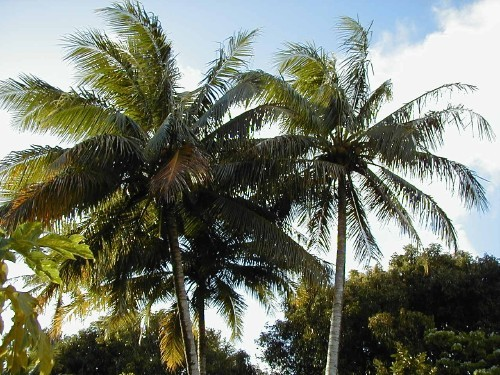 Palm trees swaying in the breeze.