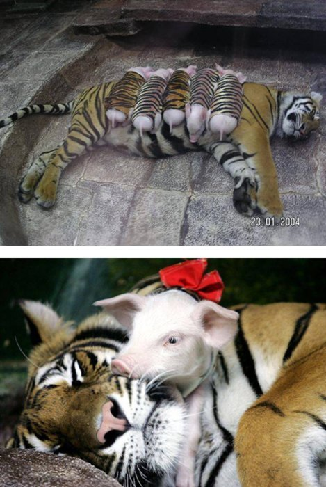 "thephenthouse: ""In a zoo in California, a mother tiger gave birth to a rare set of triplet tiger cubs. Unfortunately, due to complications in the pregnancy, the cubs were born prematurely and due to their tiny size, died shortly after birth. The mother tiger, after recovering from the delivery, suddenly started to decline in health, although physically she was fine. The veterinarians felt that the loss of her litter had caused the tigress to fall into a depression. The doctors decided that if the tigress could surrogate another mother's cubs, perhaps she would improve. After checking with many other zoos across the country, the depressing news was that there were no tiger cubs of the right age to introduce to the mourning mother. The veterinarians decided to try something that had never been tried in a zoo environment. Sometimes a mother of one species will take on the care of a different species. The only 'orphans' that could be found quickly were a litter of weanling pigs. The zoo keepers and vets wrapped the piglets in tiger skin and placed the babies around the mother tiger."""