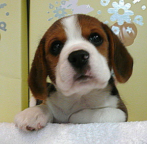 (via haveabeagle) Marty McBeagle! What do you want now?!?! I just gave you a nice warm bath and shampooed all of the sand out of your hair and from between your toes and your big floppy ears, and then I towel dried you even after you shook yourself off and covered me in bath water!  Oh Marty McBeagle, what am I ever gonna do with you? Come here and snuggle me, you silly little puppy!
