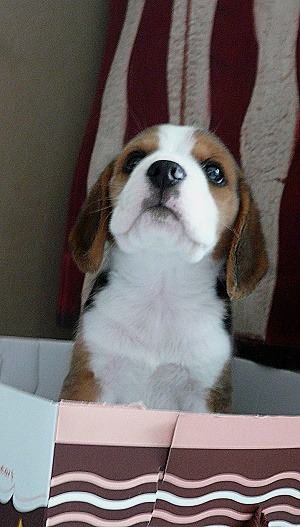 (via haveabeagle) Good morning Marty McBeagle! I know, I know; you're confused about why I put you in that box in front of the worlds largest piece of bacon.  Don't worry everything is fine.  I'm just sending you off to the bacon factory! No! Oh no! Don't cry! I'm not sending you there to be made into beagle-bacon! No no no! I'm sending you there so you can run around the factory and eat fresh bacon all day!  You might even get to meet some pigs!  It's gonna be so great; you're gonna have so much fun!  Have a safe trip and know that I'll be missing you dearly while you're gone.  I love you Marty McBeagle!