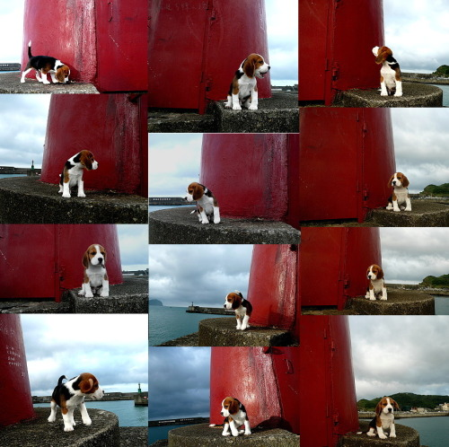 (via haveabeagle) Marty McBeagle!  I made you a collage from our stop at the lighthouse! Let me attempt to describe your thoughts in each of these photos.  Left to right, one row at a time. Hmmm, something smells like hobos… Hey! Get off my lawn! This thing kinda looks like a bid red porta-potty. Oh, that reminds me… I'm watching you, kids. Stay away from the lawn. Oh hey, look, I see a fish. I'm working on a serious stinklog right now. Oh yeah. This is gonna be a good one. Seriously, Mr. Fish, you'd better get back. Don't think I won't jump in there and eat you. Oh man. It might be a two-squatter… That's it! I'm coming over there; you damn kids! Yeah. That's what I thought. Swim away, you little coward. Oh no. I may have just sharted. Ah, we always have so much fun at that lighthouse!
