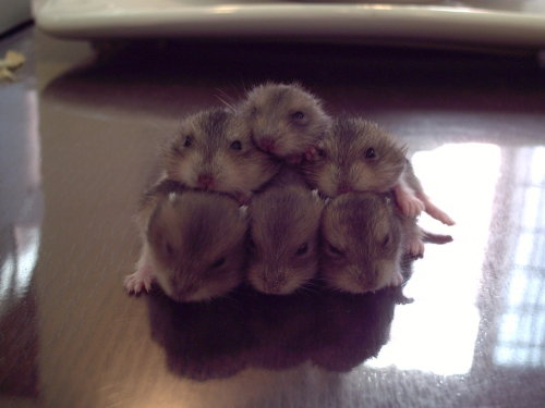 barthel: Uh, anyway, here's a pic of a pile of hamster babies.
