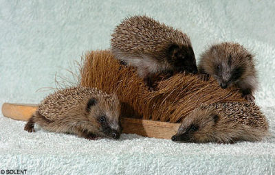 "Orphaned baby hedgehogs adopt cleaning brush as mother ""The smells on the brush, which is used to sweep a yard, remind the hedgehogs of their natural habitat."""