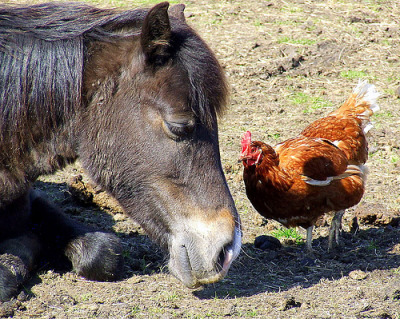 Look at this horse trying to make out with a fucking chicken. Knock it off, species law draws the line at donkey! via