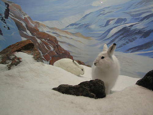 Arctic Hare (via Petroglyph) Never seen an arctic diorama before