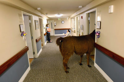 inothernews: DOES NOT DISTURB Pisco, a 13-year-old llama, enters the room of a terminally ill patient during a visit to the Hospice of Saint John in Lakewood, Colorado. The llama visits the hospice each month as part of an animal therapy program designed to decrease loneliness and calm terminally ill patients during the last stage of life.  (Photo: John Moore / Getty via Time Magazine) HELLZ TO THE NAW NO FUCKING WAY I WANT TO SEE A LLAMA WHILE ON MY DEATH BED.