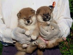 fuckyeahshibainu: 仔犬達 (PUPPIES) - Windows Live omg i love when shibas look asian lol.