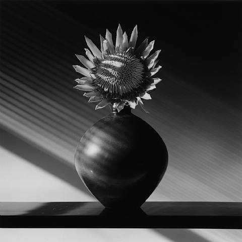 tartanspartan: Protea — Robert Mapplethorpe, 1988