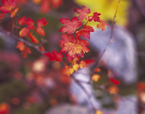 i-need-a-hero:  fuckyeahzenmind: happyphototeam  Maple Leaves @ Maroon Bells (via J R Andersen)