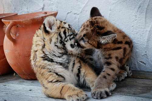 "A two-month old tiger cub and a three-month old tiger cub. ♥  JPG: Photos: ""Sherkhan and Geronimo"" by Jennifer Newberry"