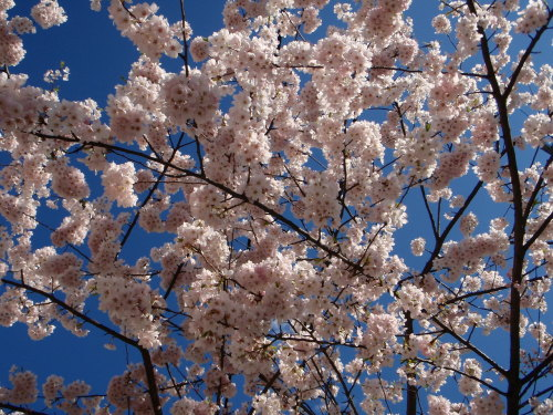 Sakura: Memories of Spring. April 17, 2009.