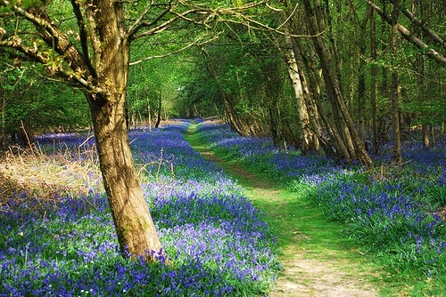 beautiful-portals:  bluebell pathway