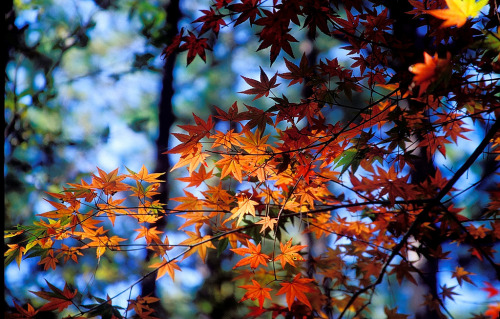 (via fuckyeahnature) Fall foliage stars, how beautiful!