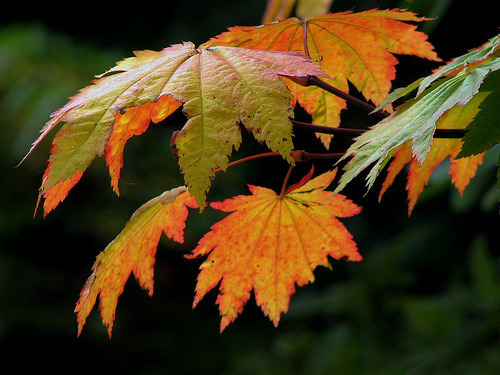 Vine Maple Leaves …