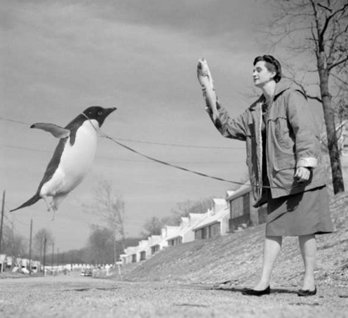 blackandwtf:   via.  I want a pet penguin
