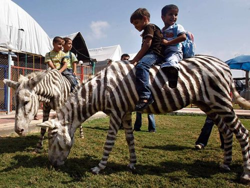 The zebras at this zoo on the Gaza Strip are actually painted donkeys. Hey, getting real zebras in wartime is hard, and the show must go on, right? P.T. Barnum would surely be proud. Via LA Times and Slate.