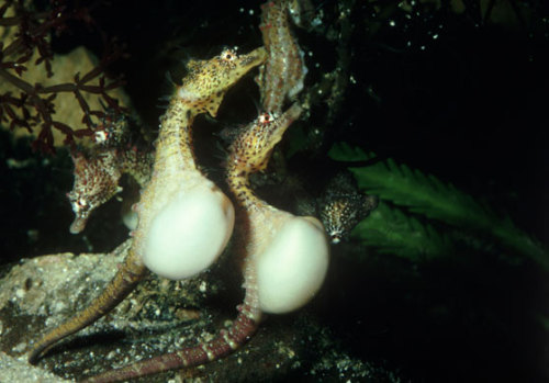 allcreatures:   Two male seahorses, either pregnant or ready to mate. 'When the male is full with the precious cargo, he wanders off, his bright mating costume already fading. He sways and wiggles his body, settling the eggs into ­position where they will remain for the next few weeks, growing in a protected ­internal pond.' Photograph: Clive Bromhall/Getty Images/Photolibrary RM  The Guardian | The Secret Life of Seahorses