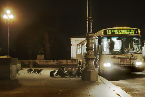 thedailywhat:  Photo of the Day: A gaze of raccoons queue up for the #18 bus outside the California Palace of the Legion of Honor in San Francisco. [via.]  Again, another reason to visit San Francisco.