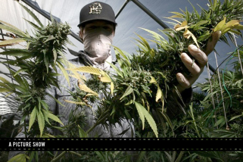 "The Harvest | GOOD The ongoing battle between medical marijuana advocates and law enforcement has begotten some tricky legality, which has lead to all sorts of uncertainty regarding growth and distribution, and, ultimately, prosecution (or non-prosecution) of distributors. Meanwhile, in places like Northern California's Mendocino County, it's currently harvest season for marijuana growers. Last year at this time, the photographer Mathieu Young ventured up north to document, with neither judgment nor agenda, a mid-fall marijuana harvest. ""On the one hand it seems like an illicit activity,"" says Young. ""But on the other hand, you have a bunch of people who are living off the land, which is beautiful."""