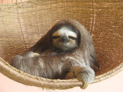 Stef from Sydney went on a holiday and saw this slothy bundle of spirit animal magic. Can you imagine? Click for full.
