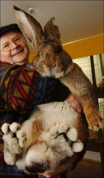 "I sure wish this nice old man would put this giant bunny in a box and mail it to me. fyeahstrangefinds:  helgaholic:spicecowboy:astrange:    German Giant, one of the biggest bunnies on the face of the planet, tips the scales at 17 pounds — almost seven pounds more than the average rabbit of his breed. And he's still growing, according to German breeder Hans Wagner (above), whose hair-raising angora hare was the highlight of a recent rabbit fair in Berlin. On all paws, German Giant, named for the world's largest rabbit breed, stands 17 inches tall. And standing on his hind feet, he's more than three feet tall. To find out how unusual Wagner's wabbit is, The Post contacted Six Bells Rabbitry in Arvada, Colo. ""That's a huge animal. That's amazing,"" said breeder Michelle Jones. ""In the States, it's hard to get them past 12 to 15 pounds."" How did German Giant get so big? ""I don't feed him an unusual diet,"" said Wagner. ""He goes through more than his brothers and sisters, but he eats the same food mix. His favorite food is actually lettuce. He can never get enough of it."" Herr Hare is unusual in another way, he noted. ""Unlike some other rabbits I've had, he's really a gentle character — a gentle giant.""  (via astrange)  WHAT, isn't this rabbit's name Amy?! Oh wait, Amy is 4ft tall."