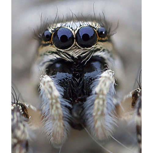 mabelmoments:   A jumping spider seems to bat its eyelashes for Thomas Vignaud's camera. The    venomous arachnid, which can jump up to 80 times the length of its own body,    can be elusive and difficult to photograph. via telegraph uk