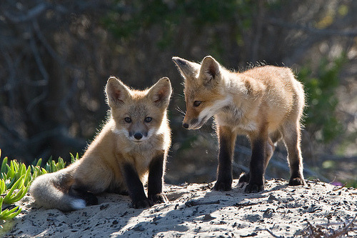 Spotted in Morro Bay. Be still, my heart. MY HEART FULL OF FOX LOVE. Thanks, CBS 5 Eye on Blogs!