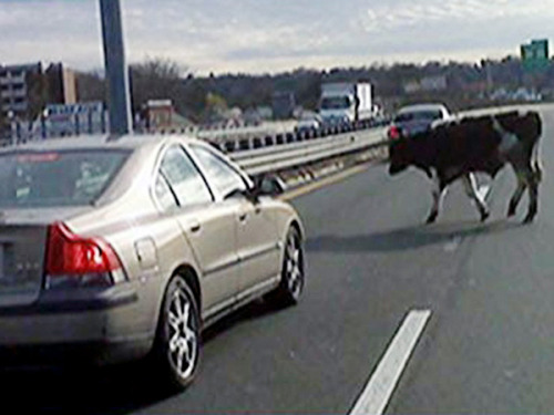 A Massachusetts highway resembled an old Stetson cologne commercial on Tuesday when two cows escaped from their trailer on Interstate-91 near the Connecticut border. Luckily, there was a cowboy stuck in traffic nearby. Decked out in a Western-style hat and boots, the mystery man came to the heifers' rescue.  The cowboy lassoed each cow and helped load them back into their trailer. Really.
