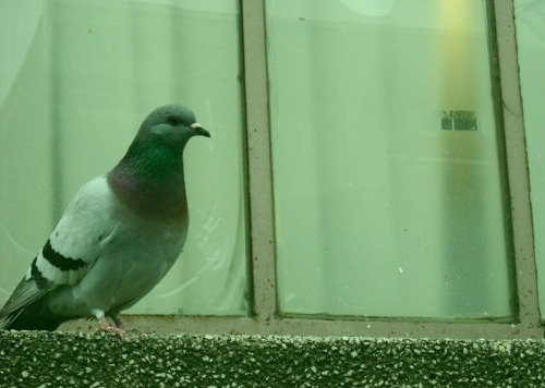 A photo I took of a pigeon watching two other pigeons fight in Greenpoint, Brooklyn. He was not really cheering for anyone, but I got the feeling he was scared to get sucked into the fight, so he backed up every now and then.