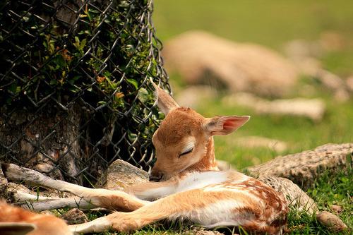 fuckyeahbabyanimals:  supmoses:  onourway:  (via tiresome)   baby deer are in my top three favorite baby animals ever(via fuckyeahbabyanimals)