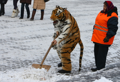 Tiger cleaning snow! [via The Big Picture]