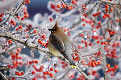 joshuajudd:  allthatshines:  alice44:  Cedar Waxwings feeding on berries in an ice covered tree along the Ohio River in Clark County, Indiana by  C.S. Drake