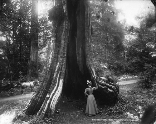 turnofthecentury:  liquidnight:  William McFarlane Notman - Great cedar tree, Stanley Park, Vancouver, BC, 1897 Musée McCord Museum