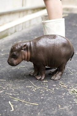 weird  wombatarama: Pygmy Hippopotamus « The Ever So Strange Animal Almanac