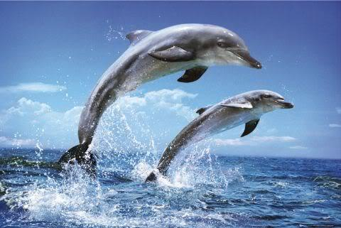 "brettjohn:  Scientists say dolphins should be treated as 'non-human persons' Dolphins have been declared the world's second most intelligent creatures after humans, with scientists suggesting they are so bright that they should be treated as ""non-human persons"". Studies into dolphin behaviour have highlighted how similar their communications are to those of humans and that they are brighter than chimpanzees. These have been backed up by anatomical research showing that dolphin brains have many key features associated with high intelligence. The researchers argue that their work shows it is morally unacceptable to keep such intelligent animals in amusement parks or to kill them for food or by accident when fishing. Some 300,000 whales, dolphins and porpoises die in this way each year. ""Many dolphin brains are larger than our own and second in mass only to the human brain when corrected for body size,"" said Lori Marino, a zoologist at Emory University in Atlanta, Georgia, who has used magnetic resonance imaging scans to map the brains of dolphin species and compare them with those of primates. Read more"