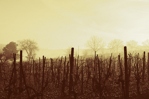 Winter Grape Vines in Tuscany