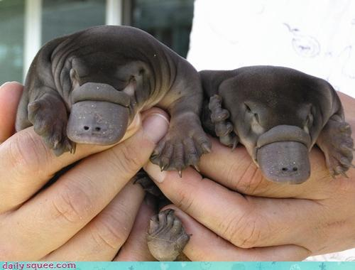 Baby platypus, I don't even know what to do with you. (via Daily Squee)