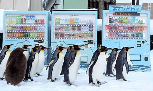 """Every day in the winter, Japan's Asahiyama Zoo marches its penguins to keep them from becoming portly, like the one on the left."""