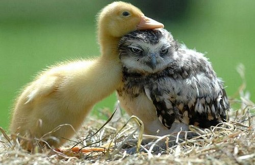 Baby duck meet Mr. Owl. (via)