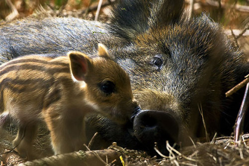 mabelmoments:  David J Slater. Wild Boar Sow with Newborn Piglet. Forest of Dean. (via guardian uk)